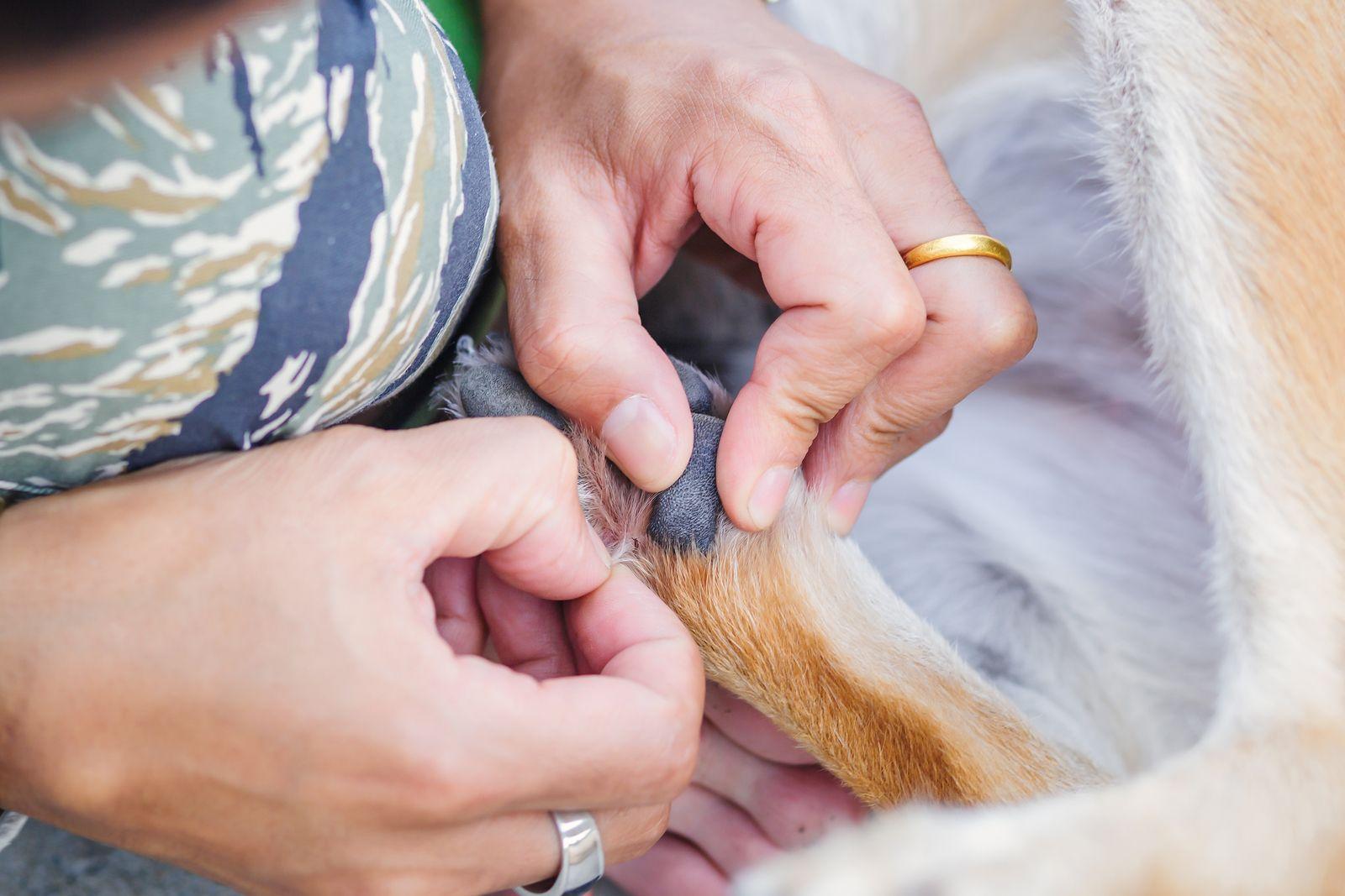 Cómo Eliminar Las Pulgas Y Garrapatas De Tu Perro Y Tu Casa