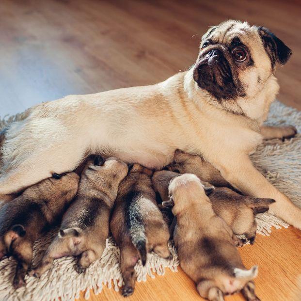 Perra con sus cachorros después de dar a luz