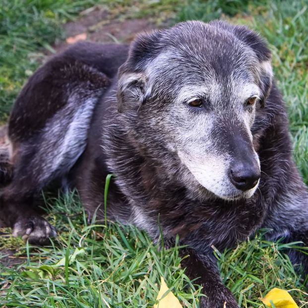 Cuidar de un perro anciano