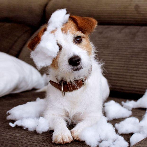Qué debes hacer para que tu perro no muerda los muebles