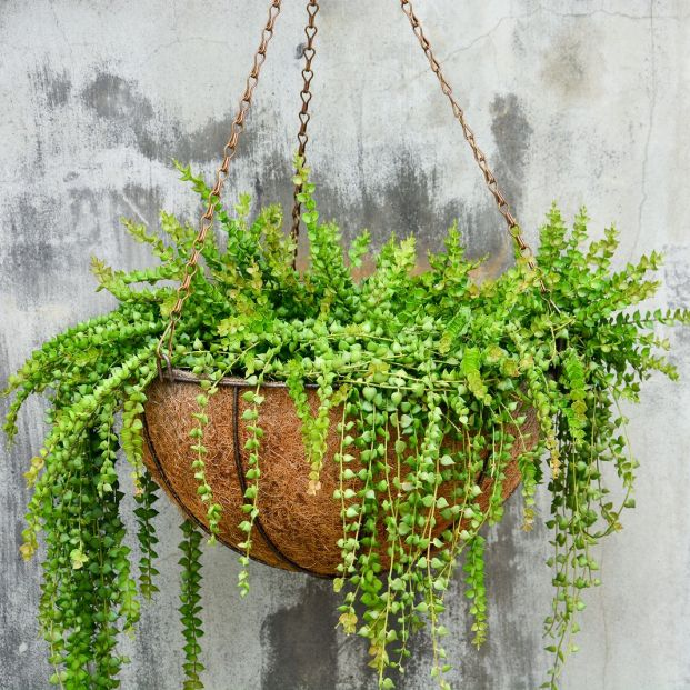 planta colgante rosario