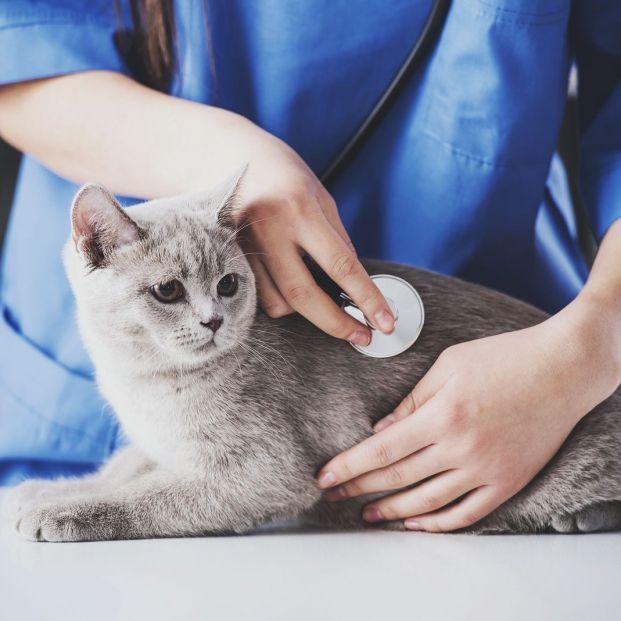 Virus de la inmunodeficiencia felina: ¿en qué consiste?