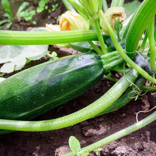 Cómo sembrar calabacín en sencillos pasos (y una receta de esta saludable verdura)
