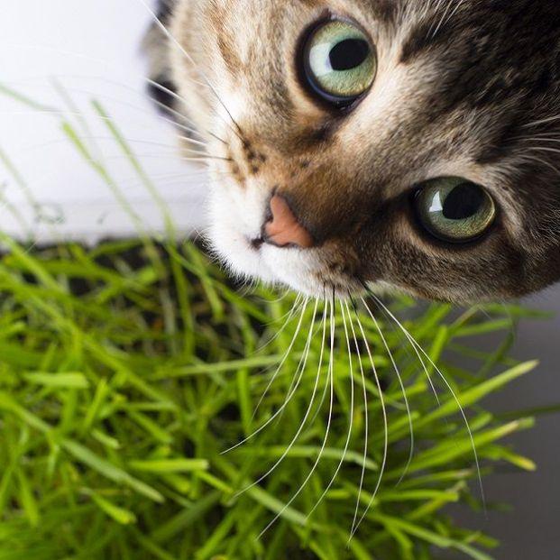 Para qué sirve la hierba gatera