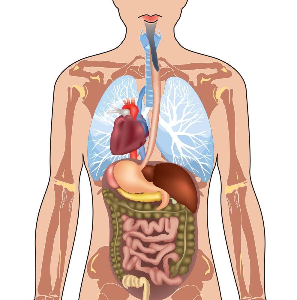 Resultado de imagen de organos al lado contrario