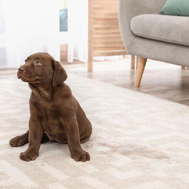 Posibles razones por las que tu perro se orina en casa