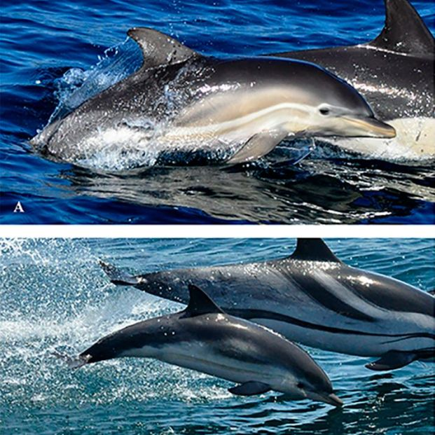 Hallan el primer delfín híbrido del mundo en la Bahía de Algeciras