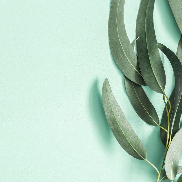 Eucalipto, la planta medicinal para resfriados y problemas respiratorios de los mayores
