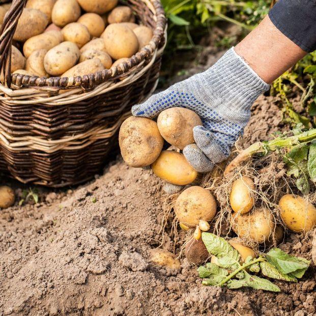 ¿Cuánto sube el precio de la patata del campo a la mesa?