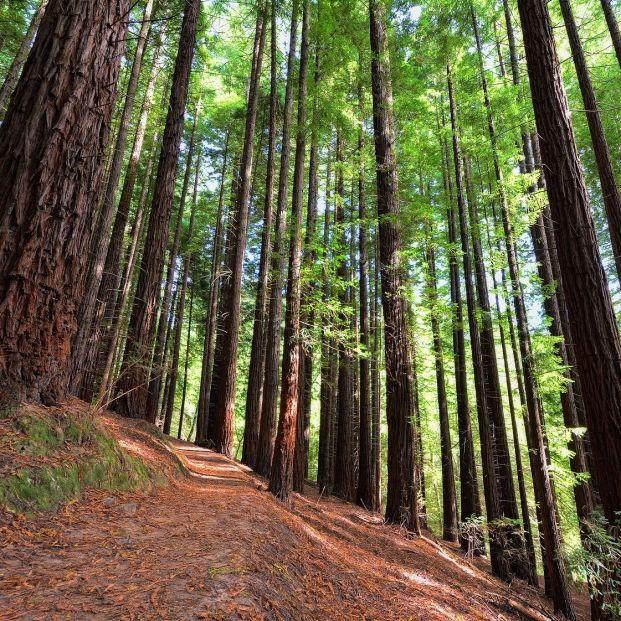 El asombroso bosque de secuoyas de Cantabria
