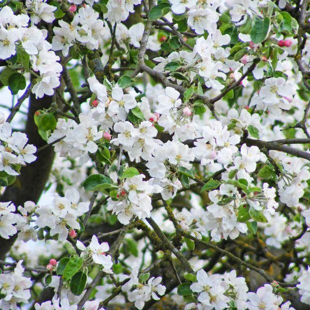 Cuándo florecen los cerezos (Bigstock)