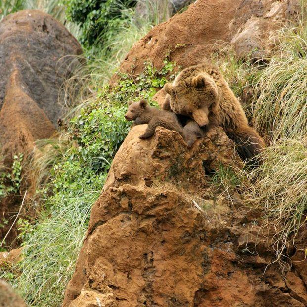 'Cabárceno en directo' se adentra en el recinto de osos para mostrar la vida de 90 ejemplares