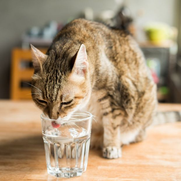 bigstock cat drink water on the table a 264977404
