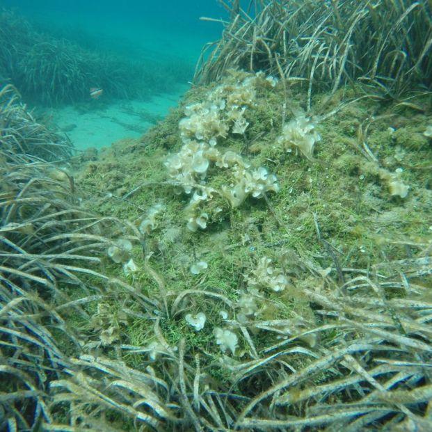 Detectada en el Cap de Creus (Girona) una de las algas más dañinas del Mediterráneo