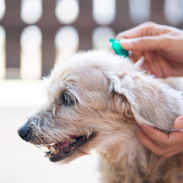 Cómo prevenir y eliminar las pulgas o garrapatas de tu perro