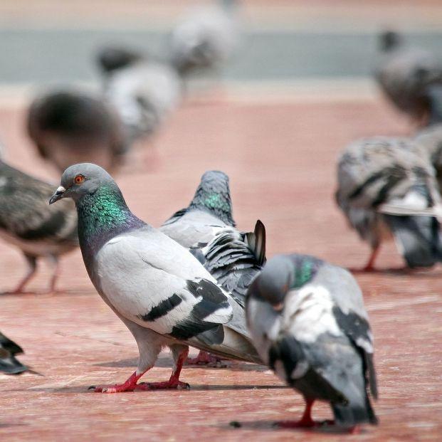 Así ha conseguido Barcelona reducir a la mitad la población de palomas en sus calles