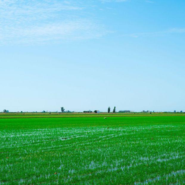 El arroz que se cultiva en el Delta del Ebro