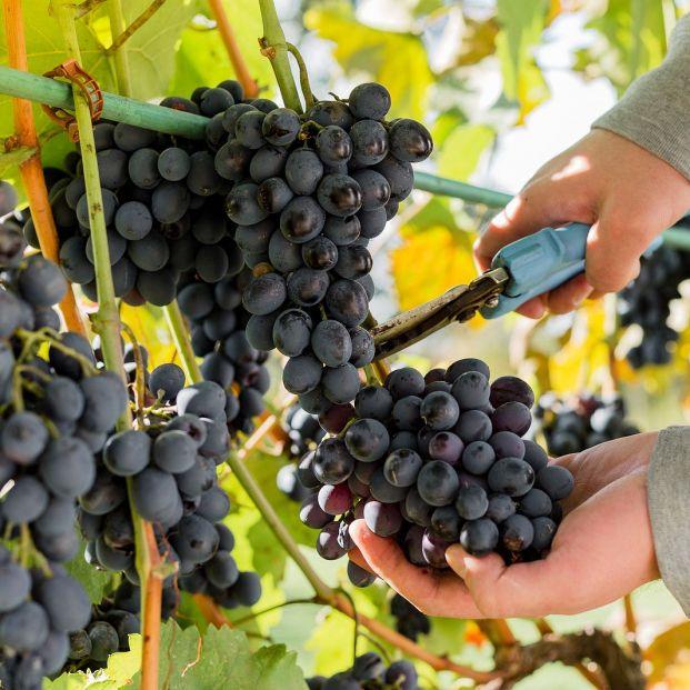 ¿Sabías que las uvas tienen propiedades laxantes?