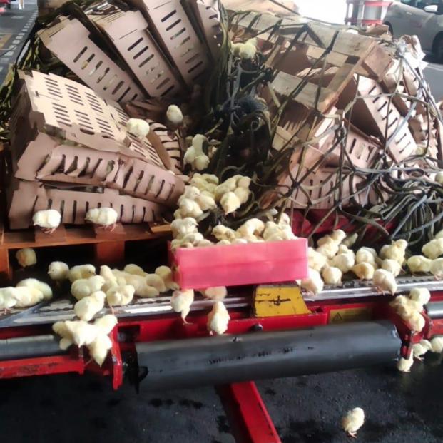 Piden ayuda para salvar 20.000 pollitos abandonados en aeropuerto de Barajas