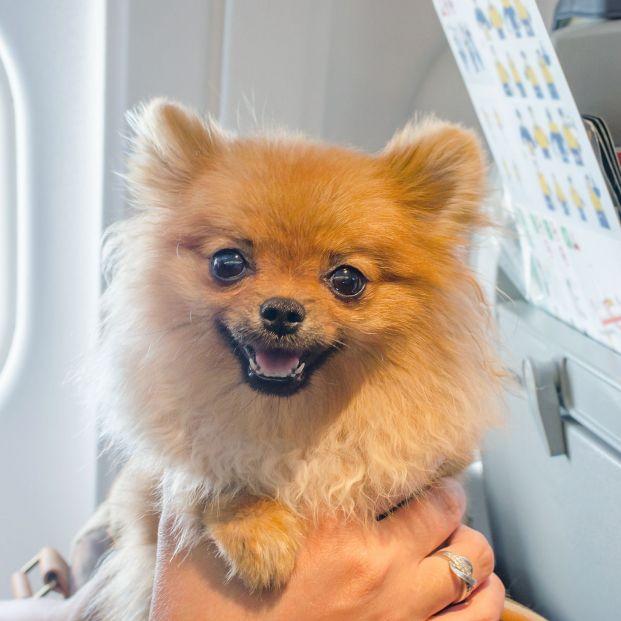 ¿Tienes pensado viajar en avión con tu perro? (bigstock)