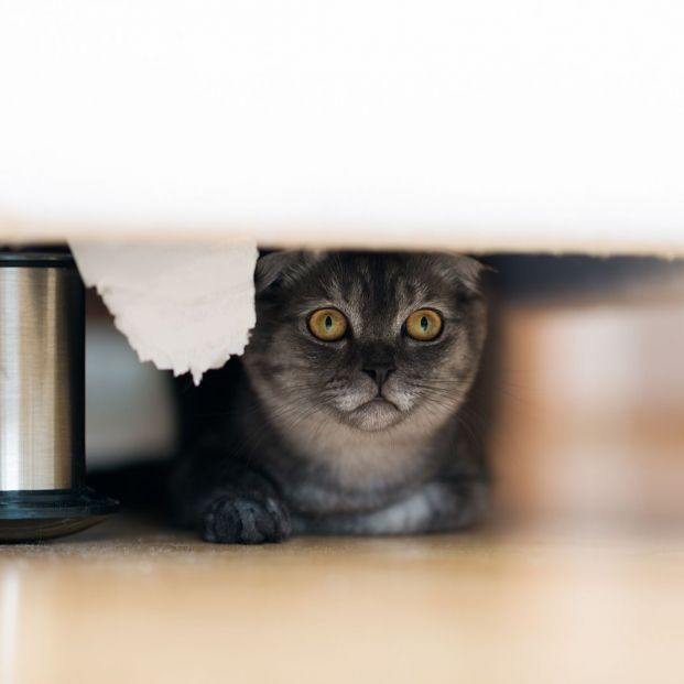 bigstock Gray Cat Is Hiding Under The B 369768667