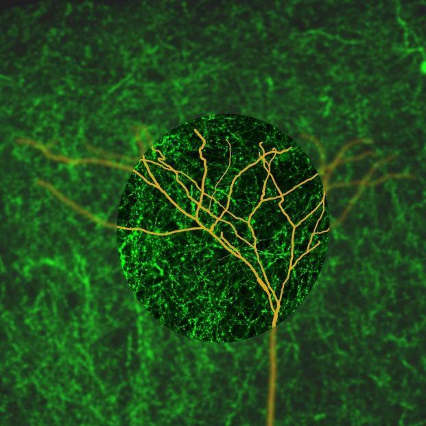 Demuestran que hasta los 90 años siguen naciendo nuevas neuronas