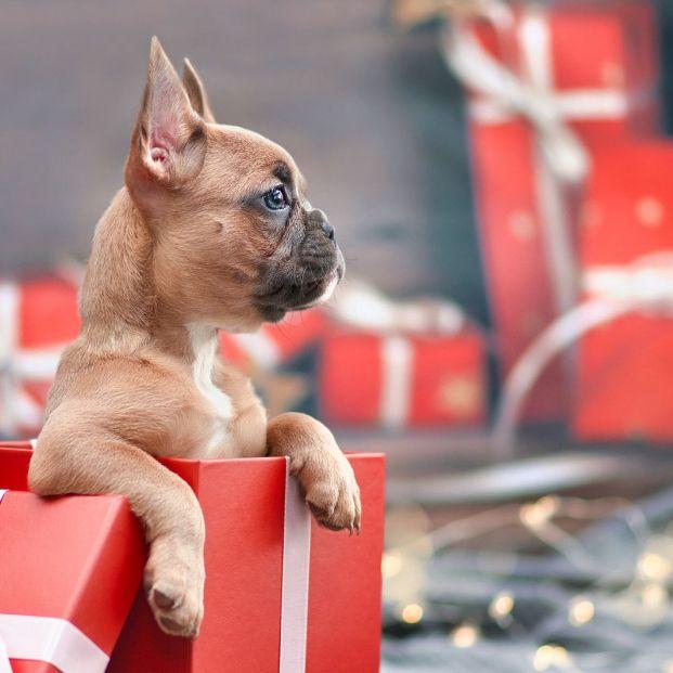 Esto es lo que debes tener en cuenta antes de regalar un perro Foto: bigstock