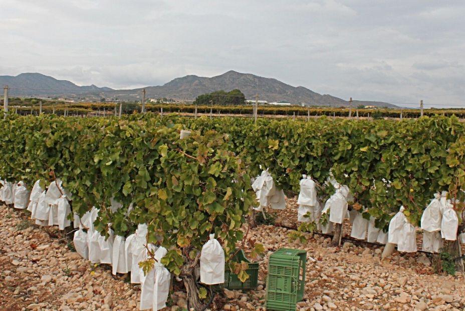 uvas de Vinalopó