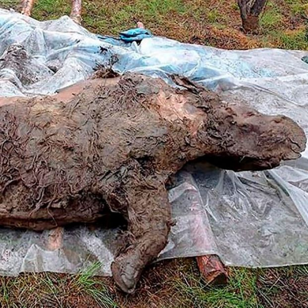Encuentran un rinoceronte lanudo congelado hace 20.000 años en Siberia