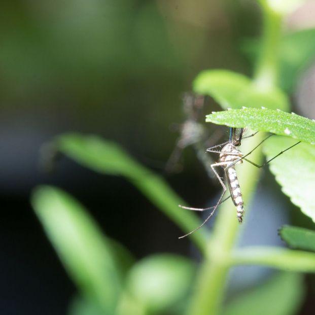 Remedios naturales para repeler insectos (bigstock)