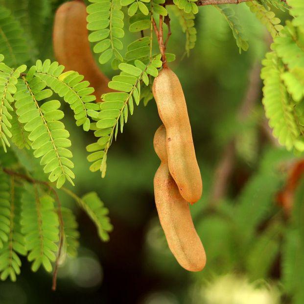 Tamarindo, una fruta exótica que te sorprenderá por sus beneficios