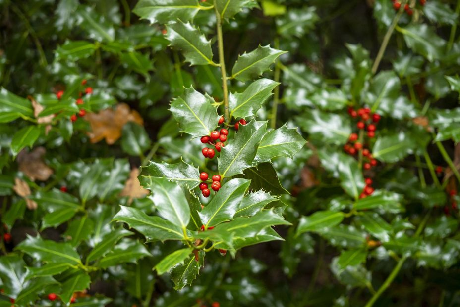 bigstock Holly Bush Ilex With Shiny G 382232483