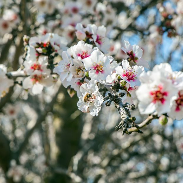 Los mejores lugares en España para contemplar los almendros en flor. Bigstock