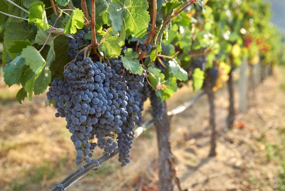 bigstock Drip Irrigation Red Wine Grape 314954584
