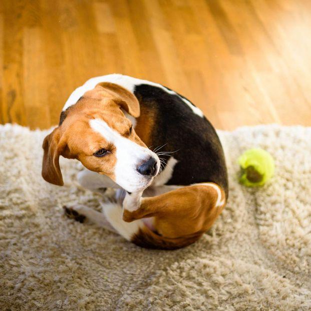 Los mejores remedios caseros para mantener alejadas a las pulgas y garrapatas de nuestro perro