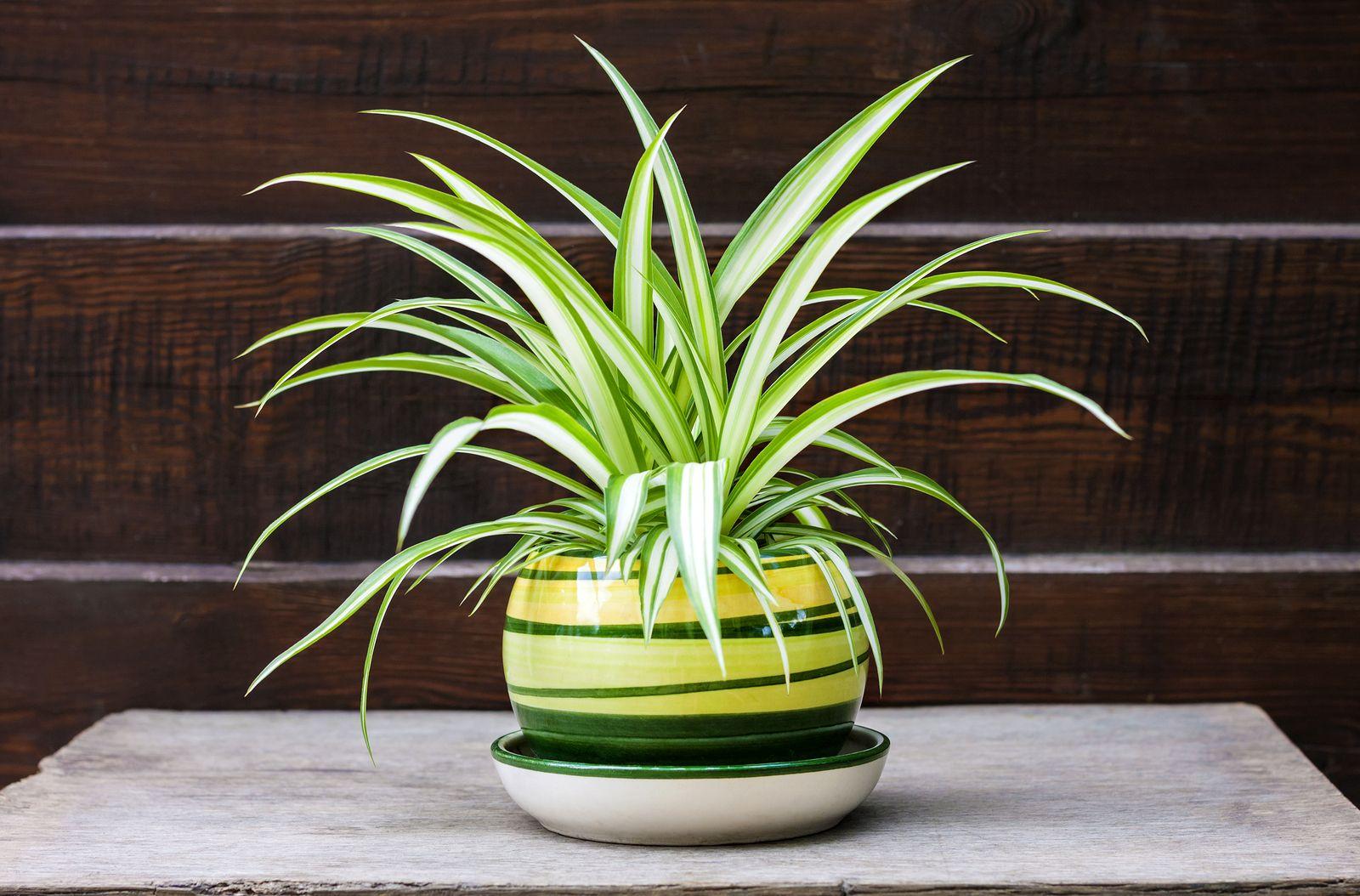 6 plantas de interior muy resistentes para principiantes for Plantas de interior resistentes
