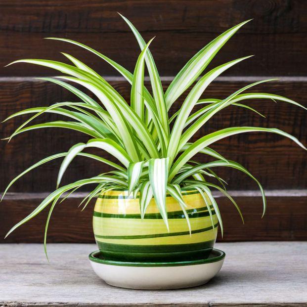 Plantas de interior muy resistentes (bigstock)