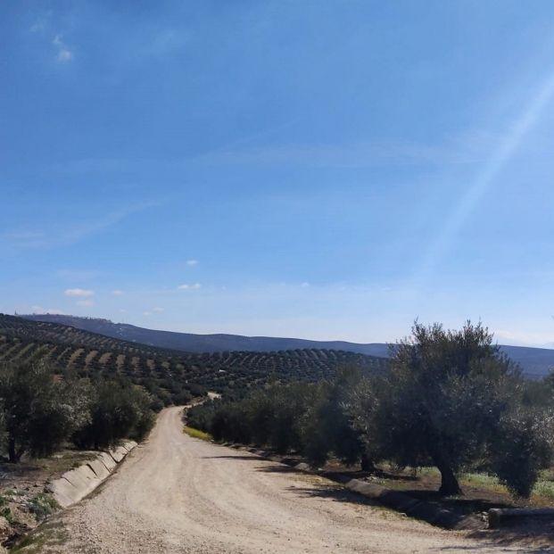 El paisaje del olivar andaluz, candidato a ser Patrimonio Mundial de la Unesco. Foto: Europa Press