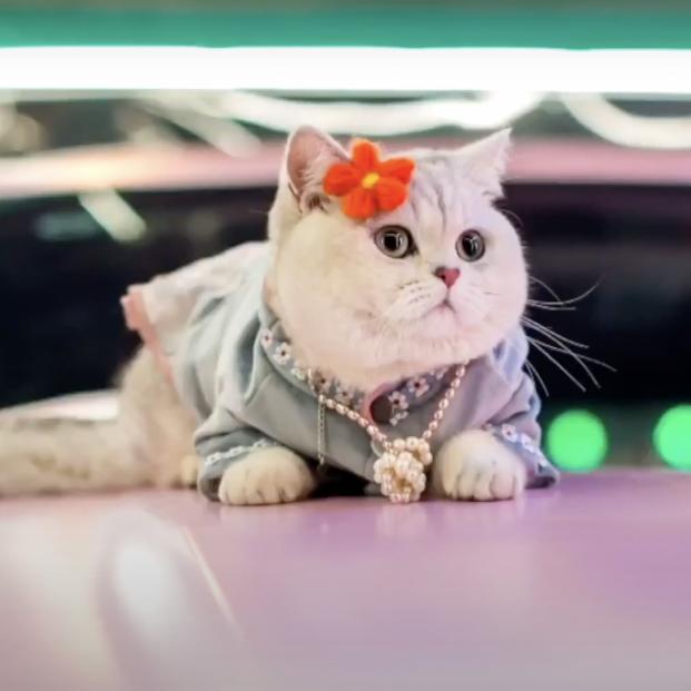 Conoce a Mao Mao, el gato modelo que cobra hasta 1.200 euros por una sesión de fotos (Captura Youku)