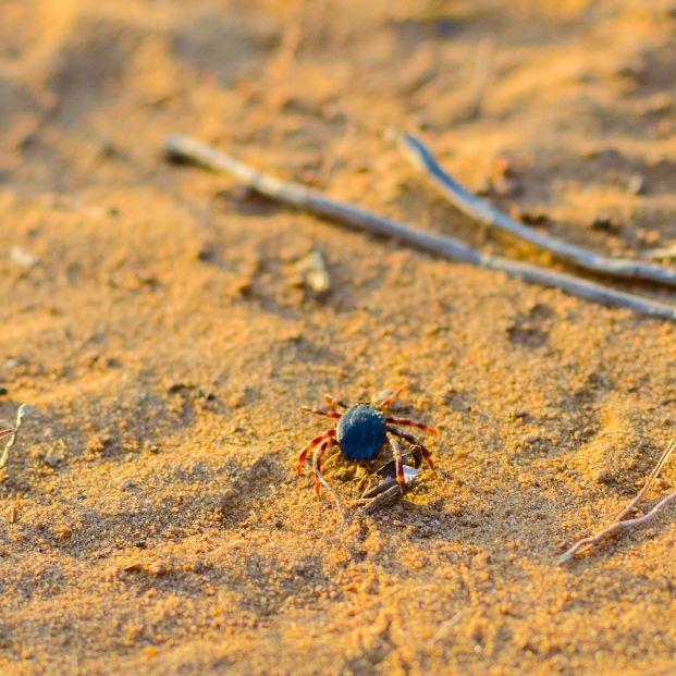 Garrapatas hasta en la playa (foto: bigstock)