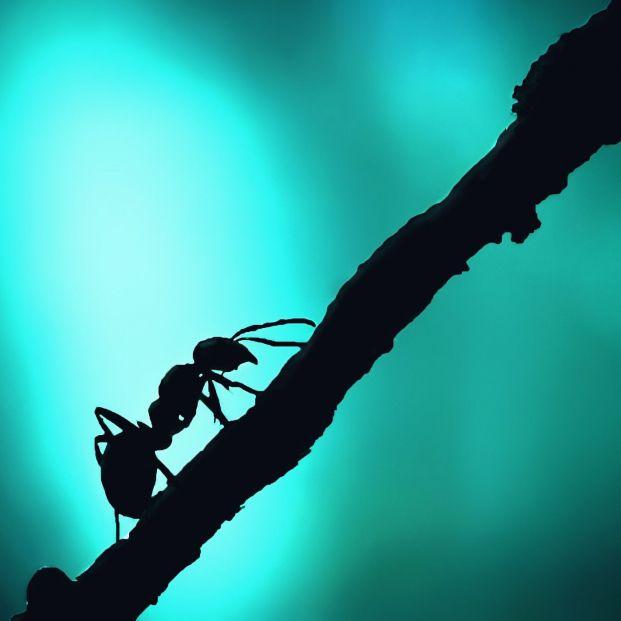 No todas las hormigas son inofensivas, estas son las que te pueden picar