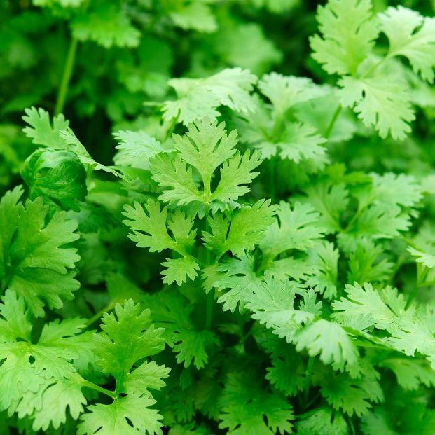 Propiedades del cilantro y usos en la cocina