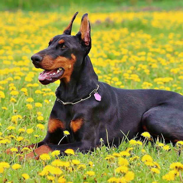 El doberman es una de las razas caninas consideradas potencialmente peligrosas (Creative commons)
