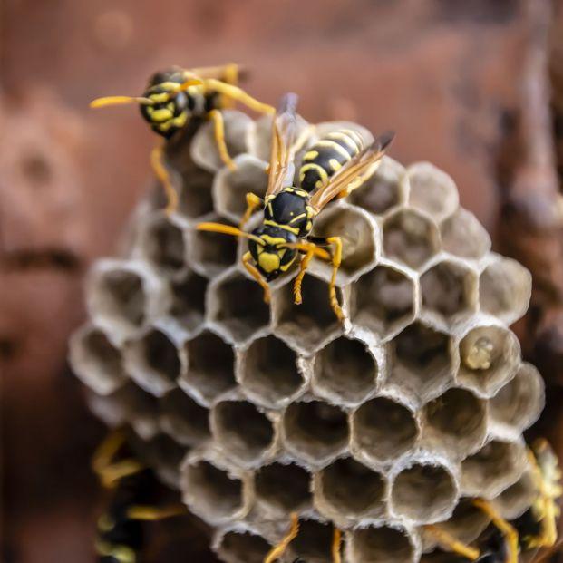 bigstock Wasp Nest With Wasps Sitting O 367603693