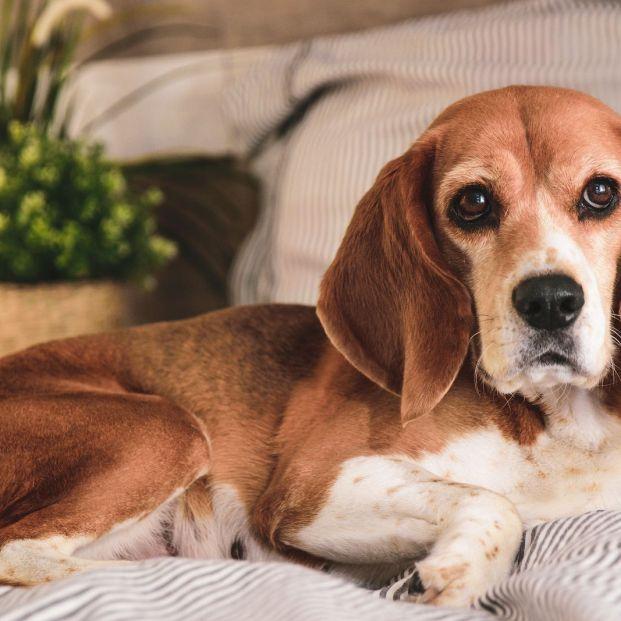 Pancreatitis en perros (bigstock)