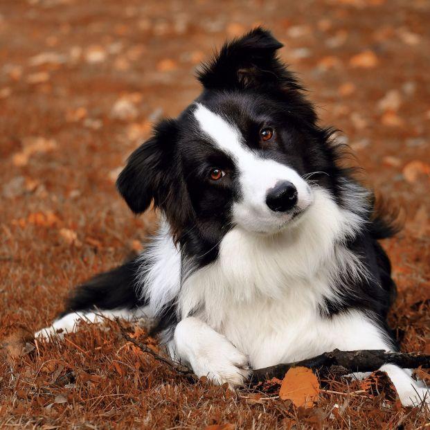 Descubre cuáles son las 10 razas de perro más inteligentes (Foto: bigstock)