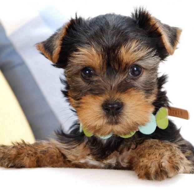 Desarticulan una red criminal que vendía perros pura raza que luego no existían