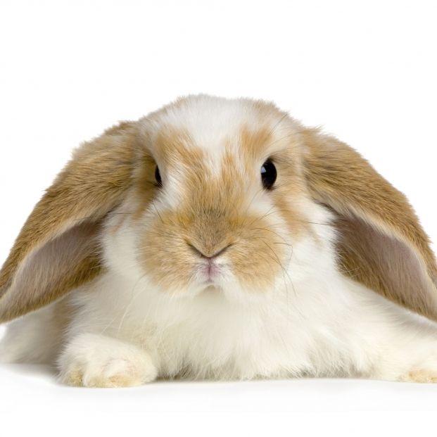 ¿Qué diferencia hay entre los conejos de orejas caídas y levantadas? (Foto: Bigstock)
