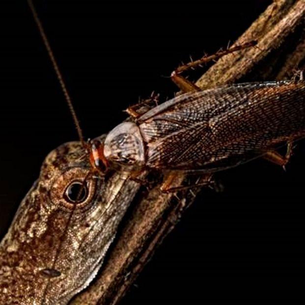 Descubren la primera cucaracha que se alimenta de lágrimas. Foto: Europa Press