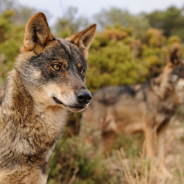 Cazar lobos estará prohibido en España desde este miércoles